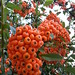 Fruit of the mountain ash