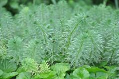 粉綠狐尾藻在五溝水隨處可見_強勢的外來物種已經排擠到本土植物的生存空間,探芹草類、雀椑等原生種瀕臨消失。