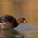 Tuffetto - Little Grebe