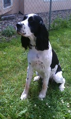 dog breed, animal, dog, pet, drentse patrijshond, russian spaniel, spaniel, french spaniel, english springer spaniel, carnivoran,
