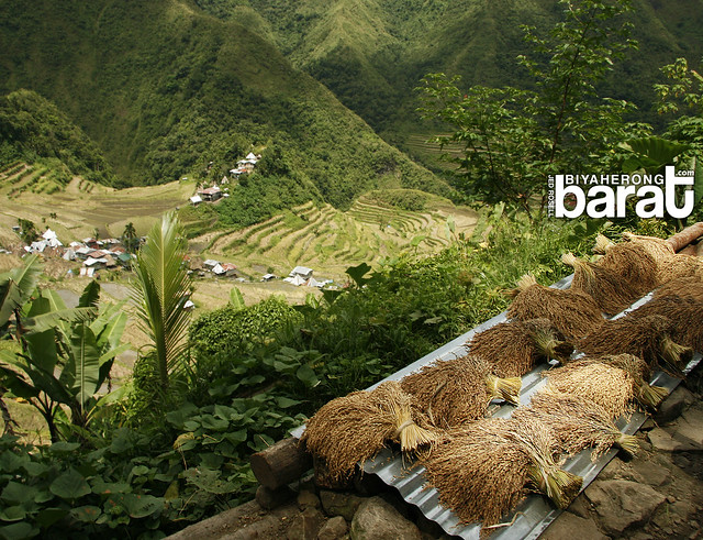 harvested rice tinawon ifugao cordillera