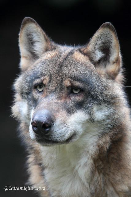 La fierezza del lupo