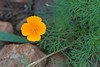 A Late Summer California Poppy