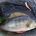 Kayak fishing for perch