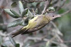 Yellow-green Vireo (Vireo flavoviridis)