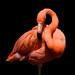 Flamingo / Fenicottero