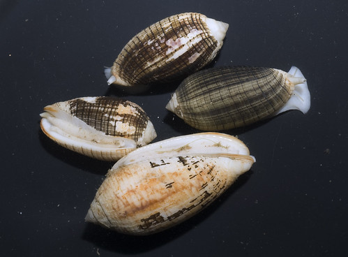 Unidentified snail Pterygia undulosa? (Family Mitridae)