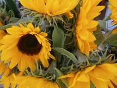 annual plant, sunflower, flower, yellow, flora, floristry, petal,