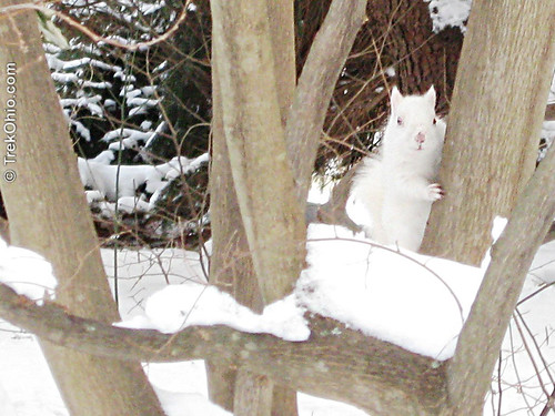 Albino eastern gray squirrel in the snow