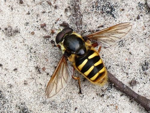 Bog Hoverfly - Sericomyia silentis