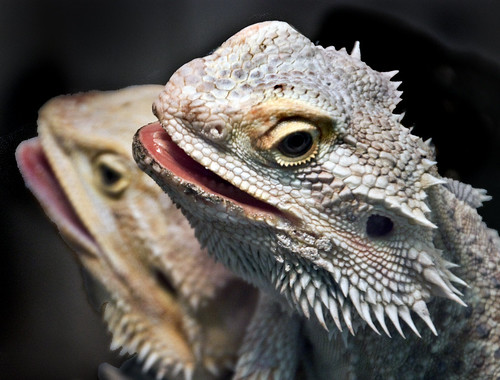 bearded dragons head