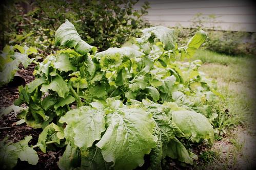 20120811. Mutant turnips!