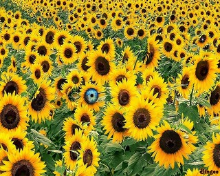 An Eye on Sunflowers