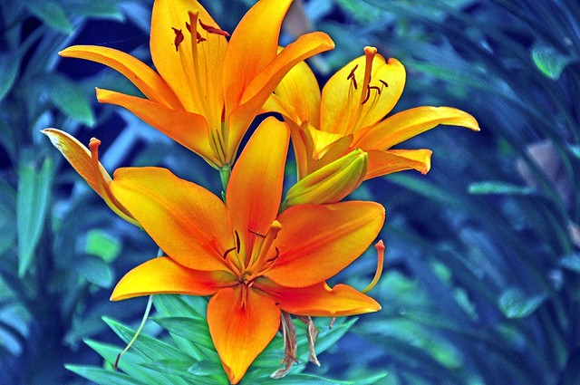 Day Lilly 2 ---Edited