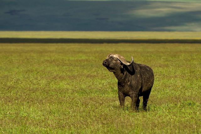 Búfalo cafre en el cráter del Ngorongoro, Tanzania.