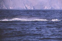 Blue whale - Whale and dolphin watching with Nature Expeditions in Peru