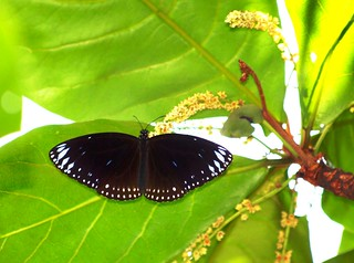 IMG4114/Burma/Arakan State/Euploéa Klugii Klugii/male resting under the leaf