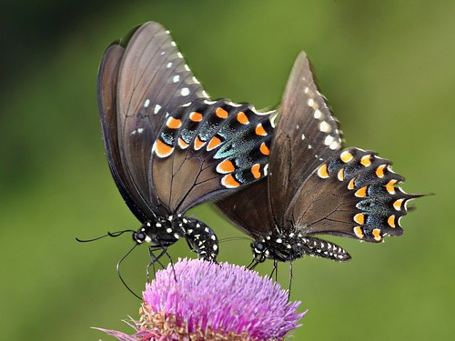 ngc northcarolina picnik papilio spicebushswallowtail richmondcounty troilus papiliotroilus