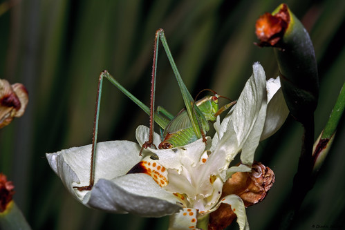Growing Katydid