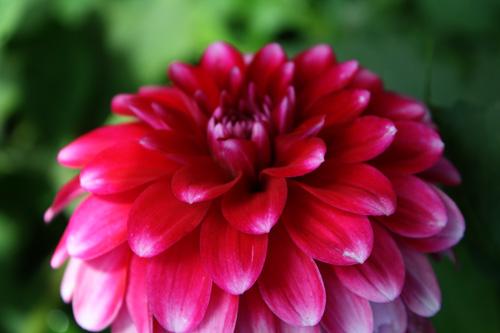Red-pink-flower