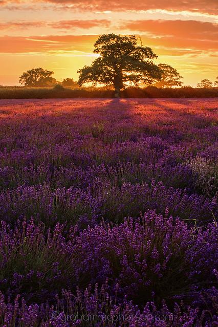 lavender tree portrait flickr photo sharing