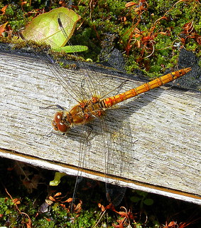 Fuji FinePix S5800-S800.Super Macro Of A Common Darter Dragonfly.August 22nd 2012.