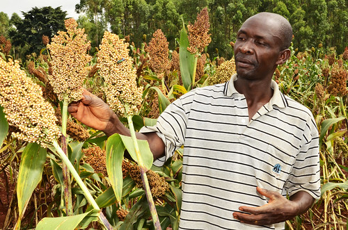 A sorghum farmer from Matayos, Busia County is working with Moi University in testing sorghum varieties