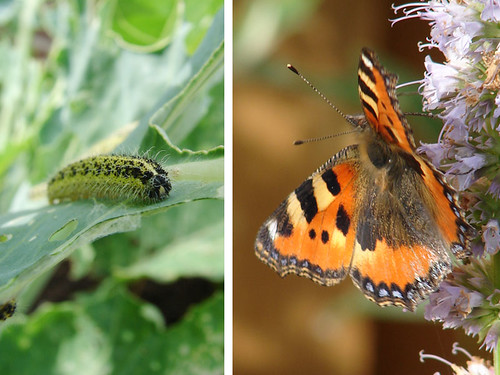 Vlinderstruik vs. moestuin