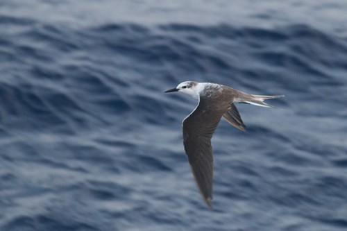 Bridled Tern - offshore Massachusetts