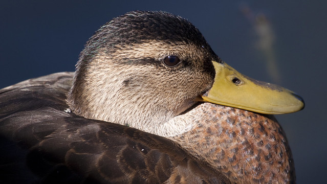 moulting male mallard