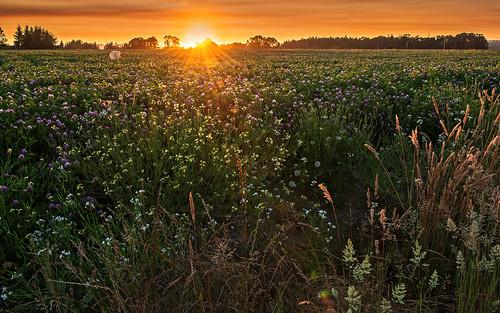 sunset summer nature field oregon landscape nikon july clover hillsboro queenanneslace goldenhour 2012 d800
