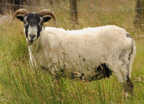 nature grass fauna scotland sheep horns lamb chewing fleece baa mutton ewe fleecy scottishborders