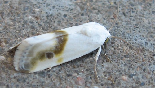 Bird-dropping Moth species