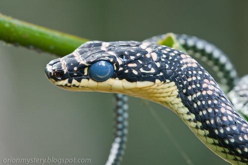 Paradise tree snake (<i>Chrysopelea paradisi</i>) IMG_9819 copy