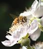 honeybee186LK