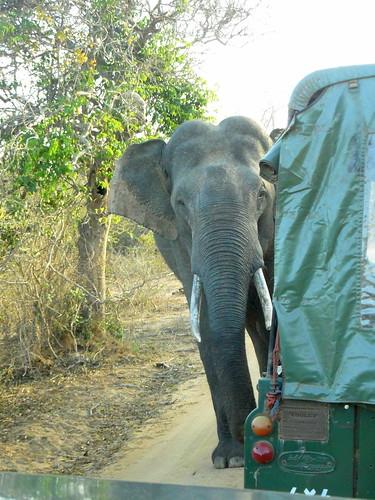 Sri Lankan Tusked Elephant, Yala