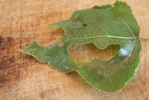 Phyllocnistis unipunctella (2)