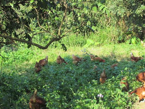 「自然放牧」(free range)飼養系統。(圖片來源:台灣動物社會研究會)