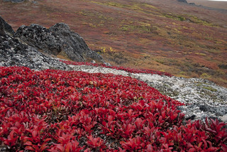 Bearberry and lichen
