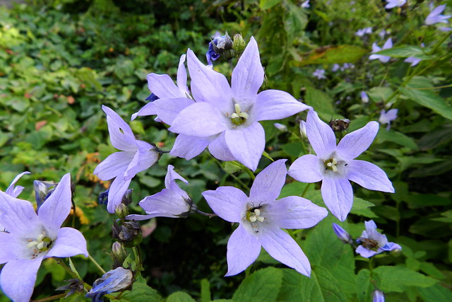 Image of Campanula lactiflora in Broward County