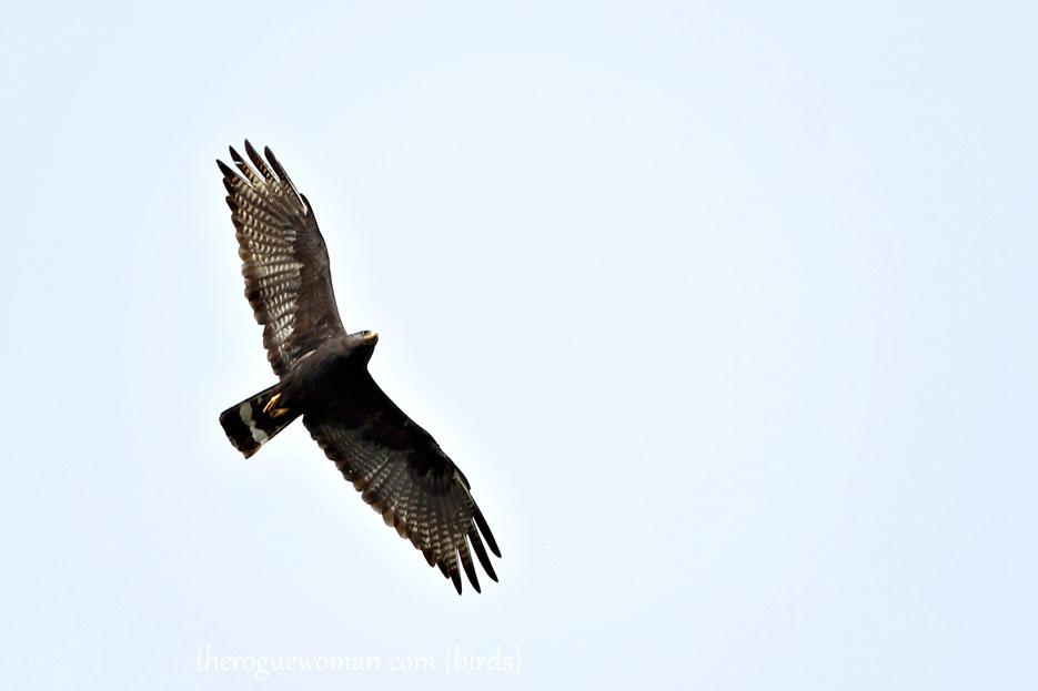 083112_03_bird_hawk_zoneTailedHawk