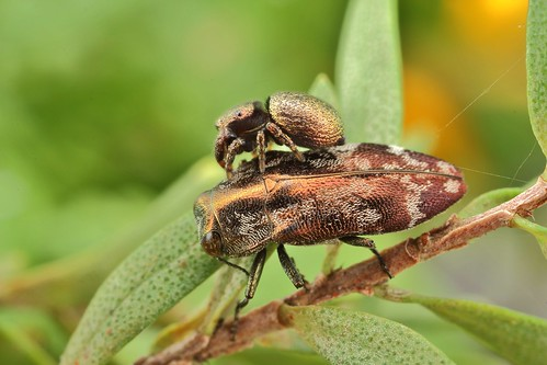 The jumping spider & the Jewel beetle