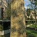 Sycamore or London Plane Tree