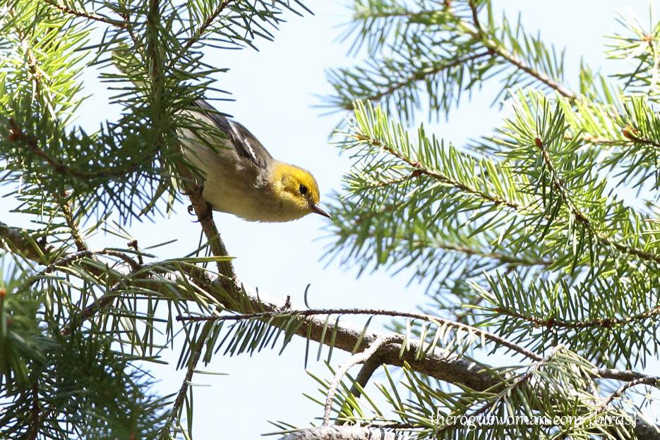 090312_09_bird_warble_hermitWarbler_female