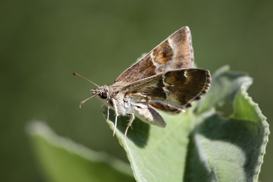 090312_02_skip_arizonaPowderedSkipper2