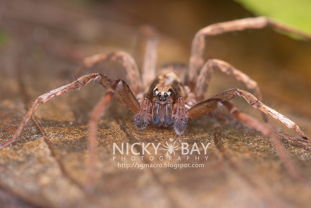 Wandering Spider (Ctenidae) - DSC_4340