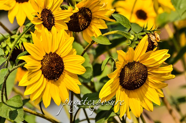 The Sunflowers at Marymoor Community Garden