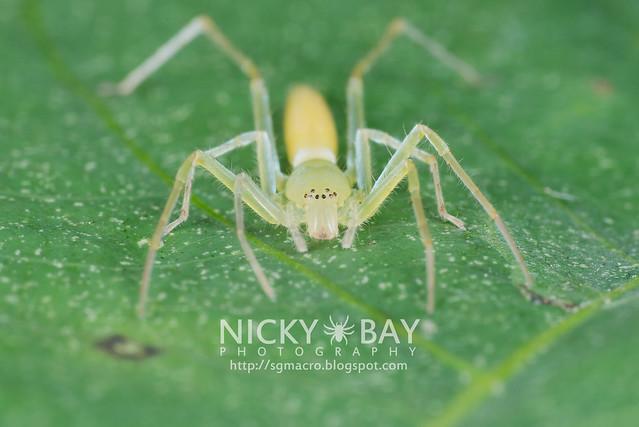 Sac Spider (Clubionidae) - DSC_1330