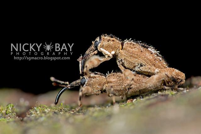 Weevils (Curculionoidea) - DSC_0847