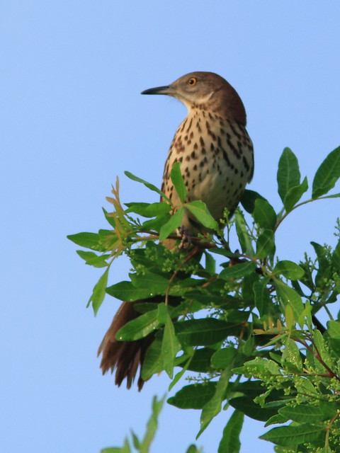 Brown Thrasher 20120924